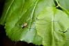 Harvestman species (Opiliones: daddy-long-legs)