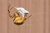 Acinform silk, used in swathing bands - Araneus diadematus