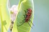 Red Milkweed Beetles (Tetraopes tetrophthalmus)