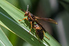 golden paper wasp Polistes fuscatus aurifer