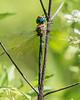 Epiaeschna heros - Swamp Darner Dragonfly
