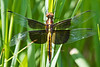 juvenile male Widow Skimmer