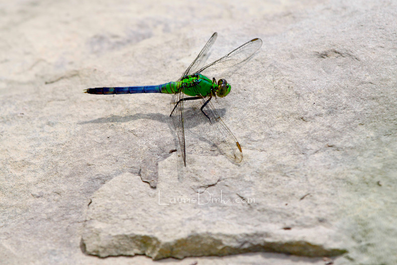 subadult Eastern Pondhawk male mid-transition to adult colors