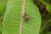 Harvestmen with Snipe Fly