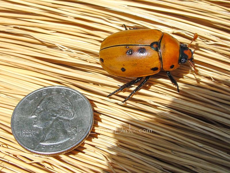 Pelidnota punctata (Grapevine Beetle)