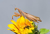 European Mantis, gravid female