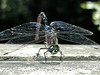 Variable Darner (male)