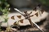 Common Whitetail - Plathemis lydia