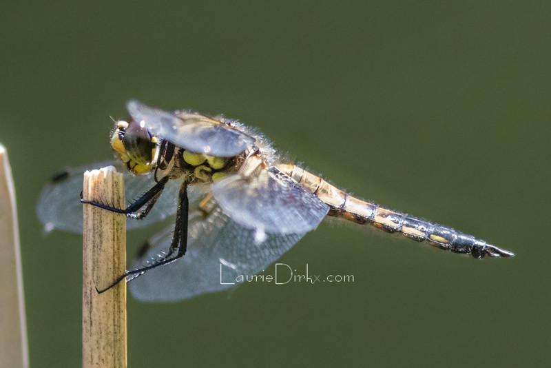 Four-spotted Skimmer (Libellula quadrimaculata)