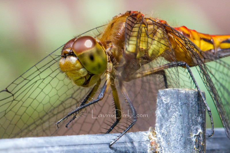 A species in the Meadowhawk family (female)