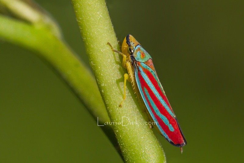 Red-banded Leafhopper (Graphocephala coccinea)