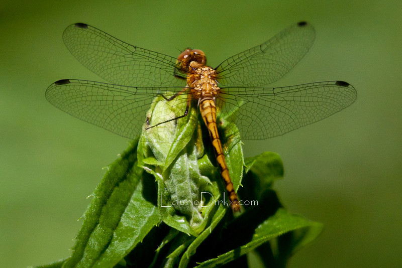 species in the Meadowhawk family (female)