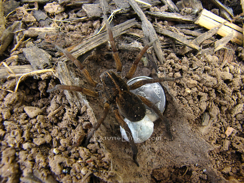 Wolf spider with egg sac and dime to gauge her size.