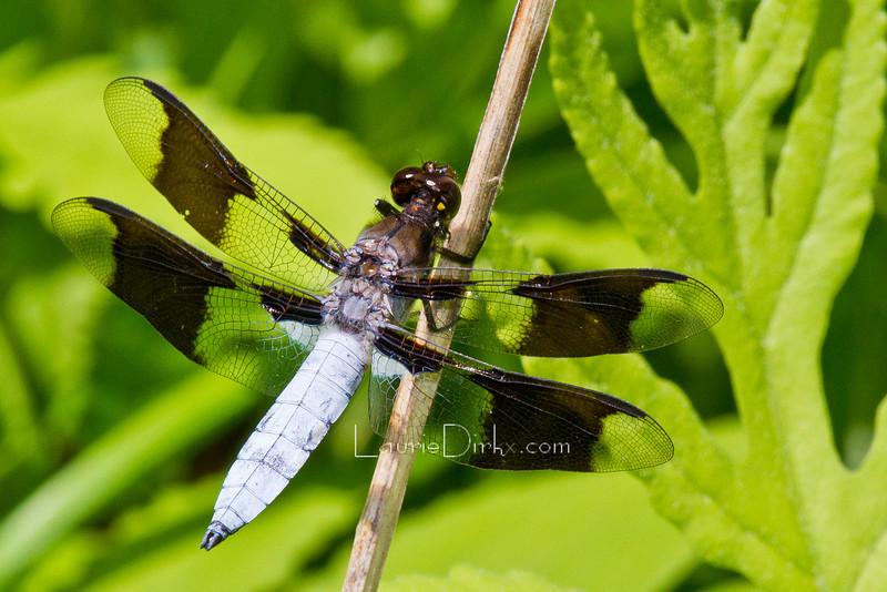 mature male Common Whitetail ~ Plathemis Iydia