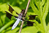 mature male Common Whitetail ~ Plathemis Iydia