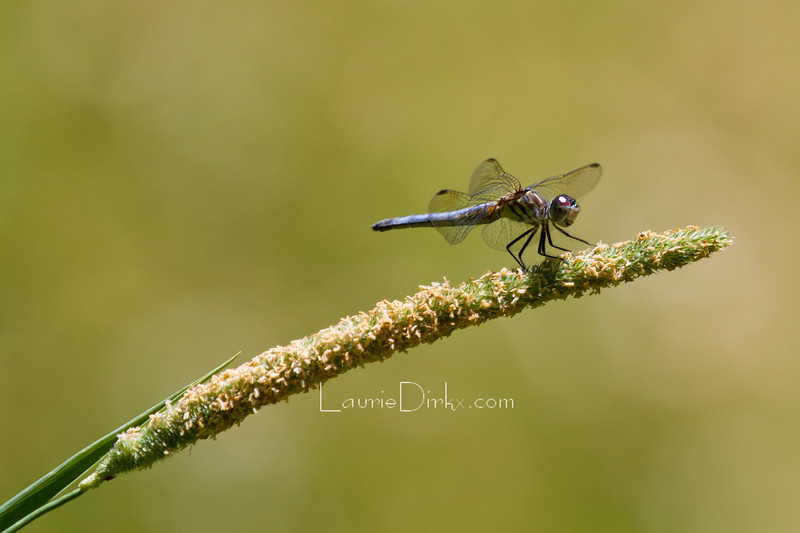 Blue Dasher, nearly-adult male