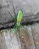 Green Long-jawed Spider (Tetragnatha viridis)