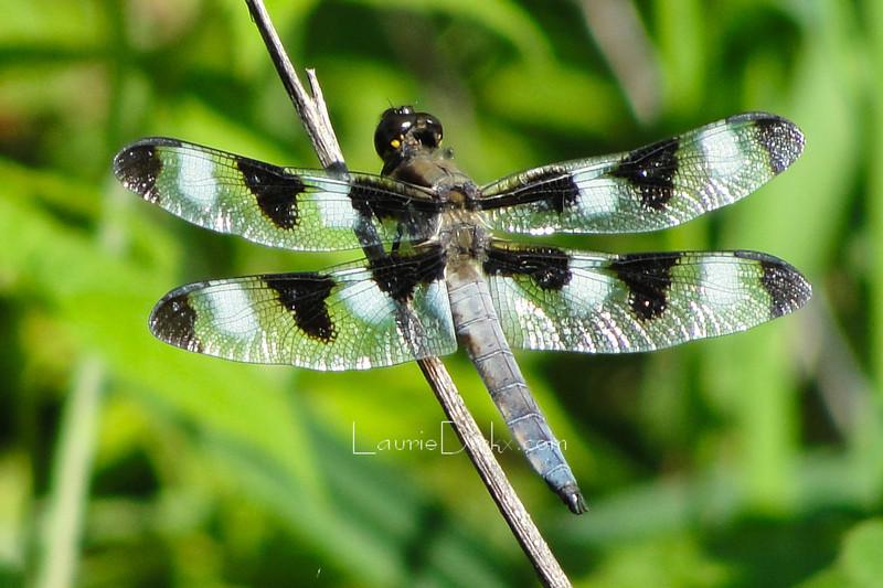 Twelve-spotted Skimmer, Libellula pulchella, adult male