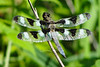 Twelve-spotted Skimmer, Libellula pulchella, adult male
