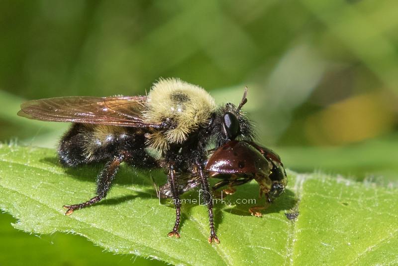 Robberfly with Ladybug