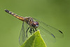 Blue Dasher, female