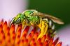 Green Metallic Bee, Agapostemon sp.