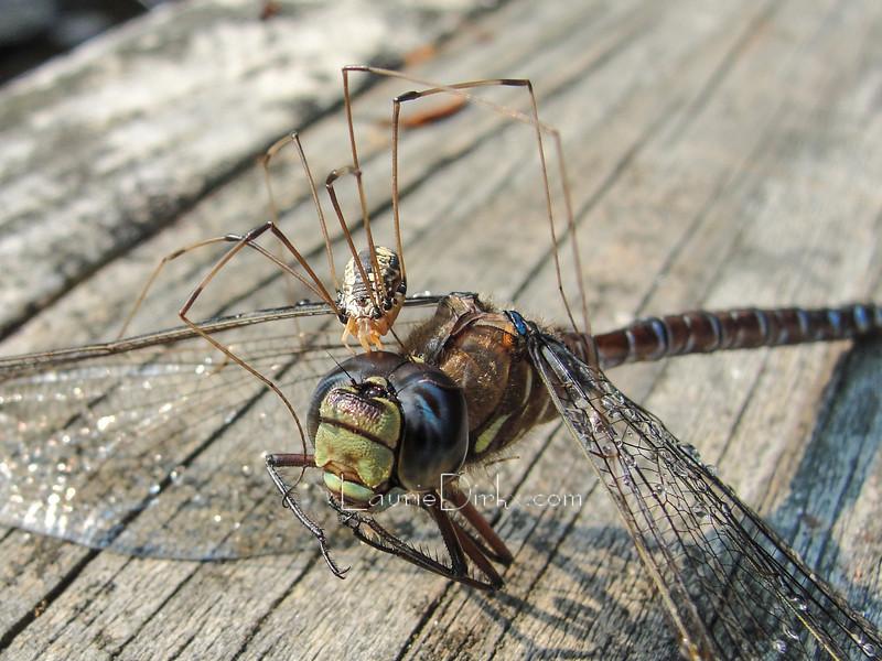 Harvestman species (Opiliones: daddy-long-legs) scavenging a dead Variable Darner