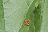 squash bug eggs