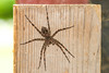 Dolomedes tenebrosus - fishing spider