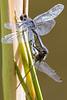Dot-tailed Whiteface - Leucorrhinia intacta