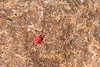 Southern red spider mite (Oligonychus ilicis)