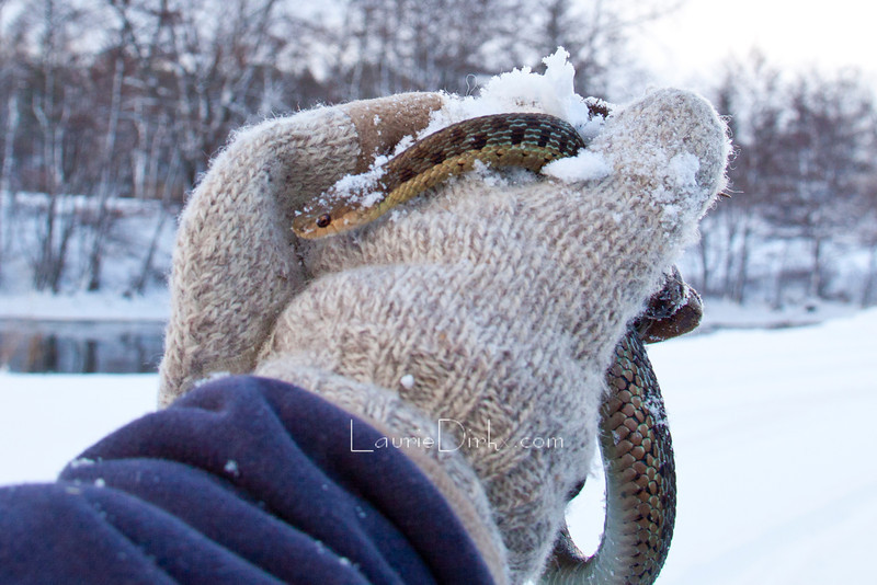 A most unusual winter sighting. This garter was floating belly up near death in Bear Creek. I placed it in a plastic container on my vehicle's defrost - it came to and I then brought it home to my stored hay where I know organic heat could help it to winter over.