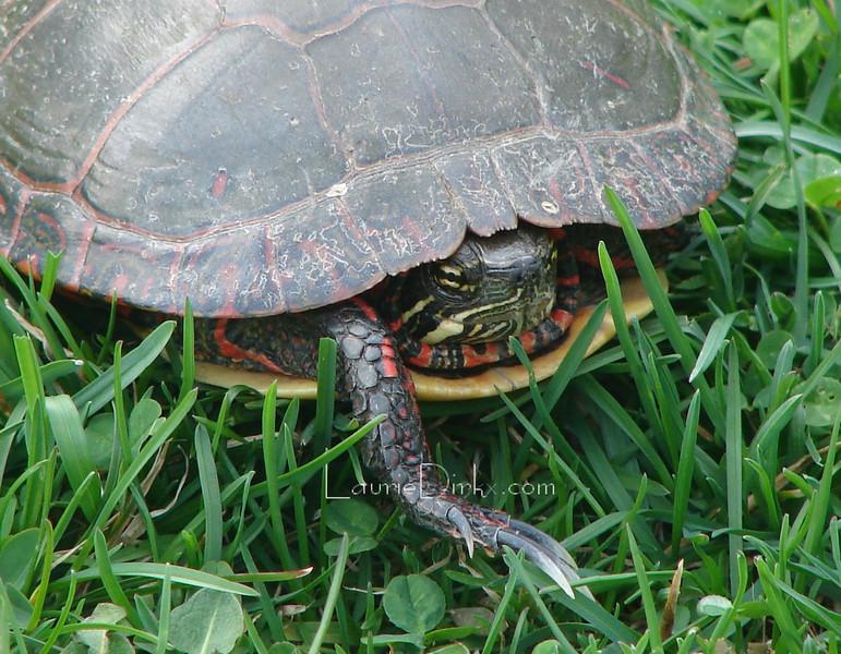 Male Painted Turtle