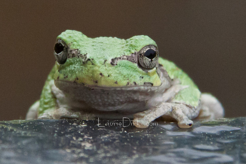 Gray Tree Frog, a smidgeon bigger than my thumbnail.