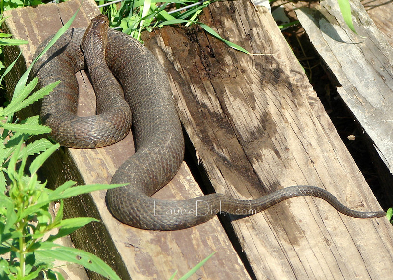 Northern Water Snake - sunning on a 4x4x8.