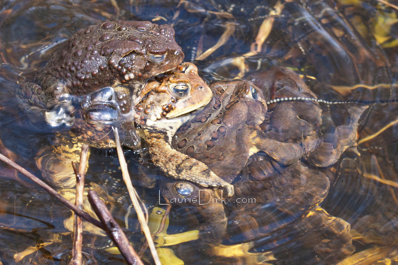 Four toads piled up, then a fight ensued. The white strand is eggs.