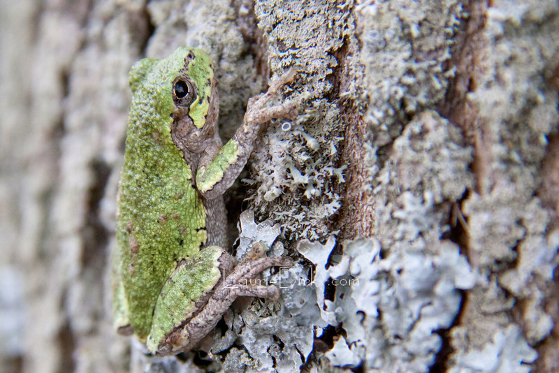 Featured on 9-1-11 by the NYS Conservationist Magazine: Photos from Readers--2011. This Grey Tree Frog is in transition changing from bright green to the duller bark color. Its back has progressed further than the brighter green of its lower body.
