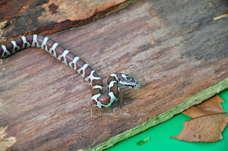 Hatchling Milk Snake, smaller than a pencil.