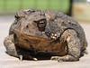 Big ol' handful of a Mama American Toad!