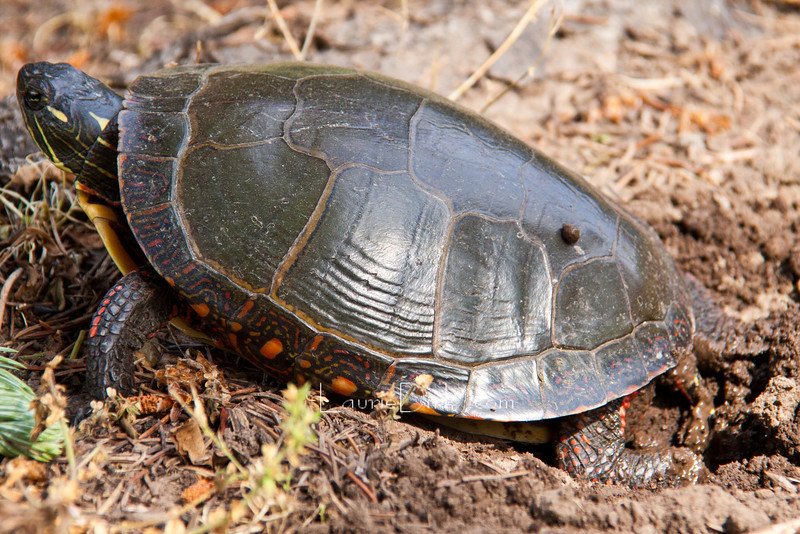 Painted Turtle digging to lay eggs.
