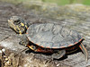 "Midland Painted Turtle hatchling the size of a quarter, with its egg tooth still showing. Featured as ""Only in print this week"" on 6-12-12 at: <a href=""http://www.waynepost.com/feature/x492303175/Only-in-print-in-this-weeks-Wayne-Post?photo=0"">http://www.waynepost.com/feature/x492303175/Only-in-print-in-this-weeks-Wayne-Post?photo=0</a>. Also featured by the New York State Conservationist ""Photos From Readers 2012"" on 5-3-12 at: <a href=""https://www.facebook.com/photo.php?fbid=356945711029005&set=a.276824209041156.66976.124915990898646&type=3&theater"">https://www.facebook.com/photo.php?fbid=356945711029005&set=a.276824209041156.66976.124915990898646&type=3&theater</a>"