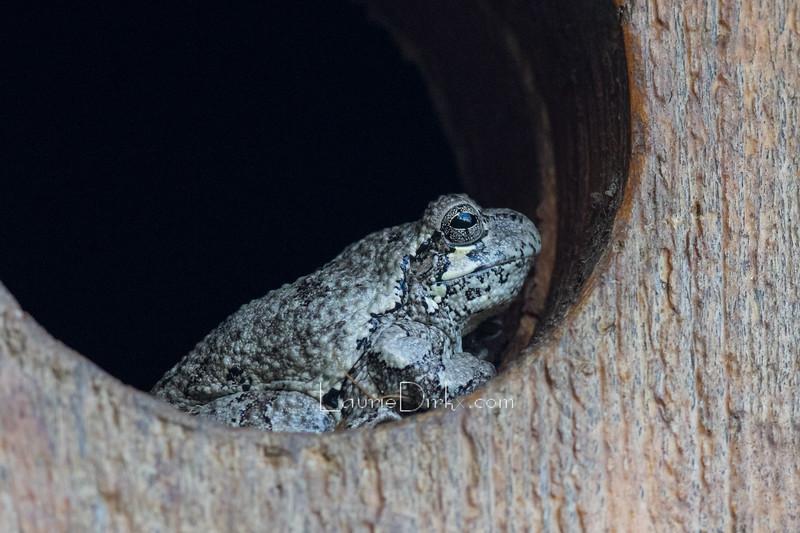 Grey tree frog, resting in screech owl nest box.