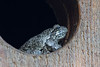 Grey tree frog, resting in screech owl nest box.