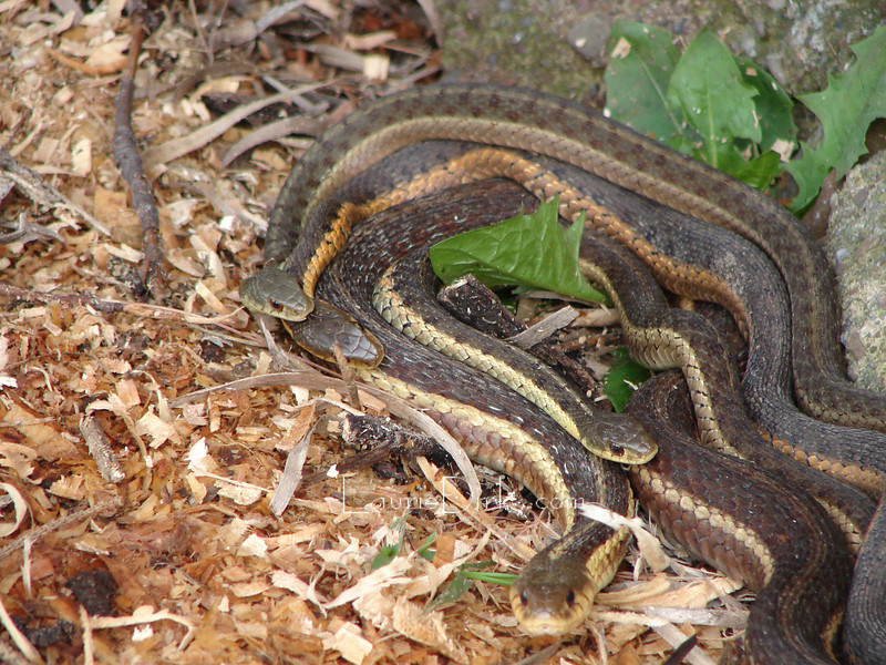 Three male Garter snakes pursuing female in foreground.