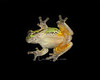 Grey Tree Frog on window glass at night. When this one jumps the orange flashes making appearances this one is venomous.