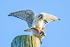 American Kestrel's mating.