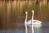 Trumpeter Swans - Walworth, NY