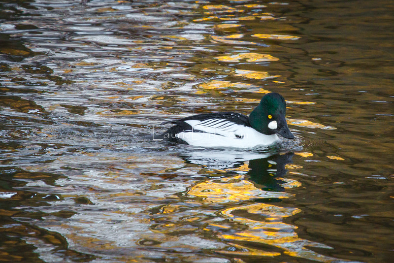 Common Goldeneye, drake