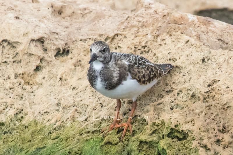 Ruddy Turnstone, nonbreeding plumage.