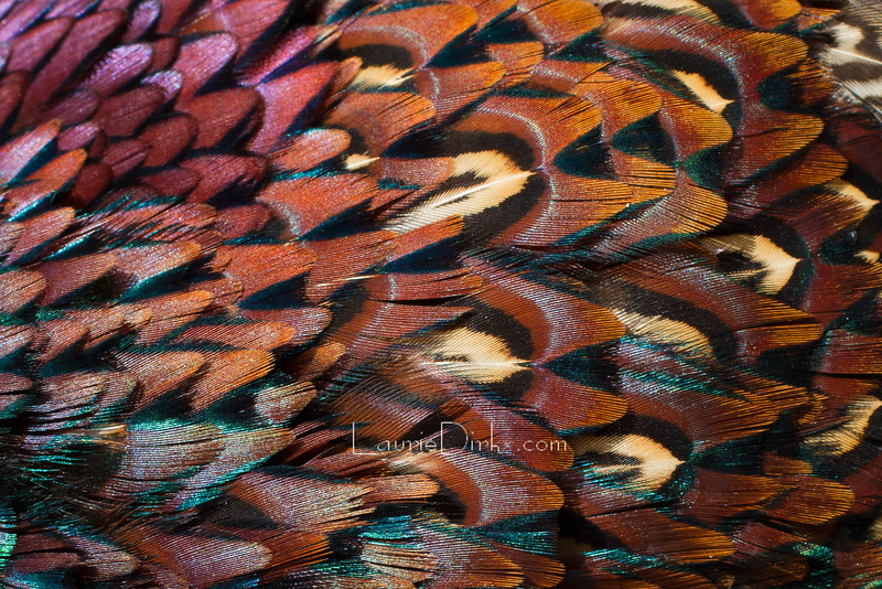 Pheasant Iridescence